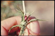 Carthamus leucocaulos