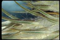 Carduus pycnocephalus