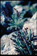 Dudleya abramsii ssp. bettinae