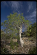 Moringa bottle tree
