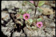 Mimulus rattanii ssp. decurtatus