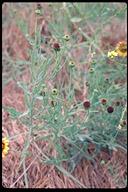 Helianthus ciliaris