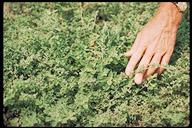 Galenia pubescens