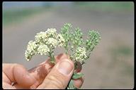 Cardaria pubescens
