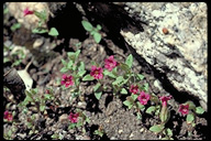 Bolander's Monkeyflower
