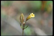 Mimulus breviflorus