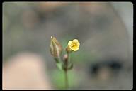 Erythranthe breviflora