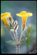 Mimulus floribundus