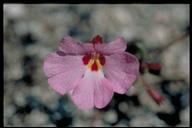 Mimulus gracilipes