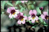 Mimulus jepsonii