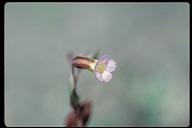 Mimulus latidens