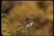 Setophaga coronata