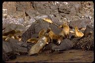 Zalophus californianus