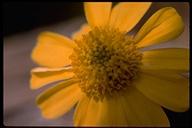 Encelia sp.