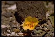 Papaveraceae sp.