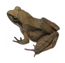 Stream Brown Frog