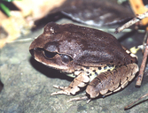 Common Barred Frog