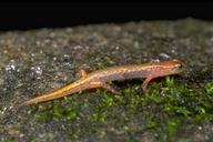 Desmognathus aeneus