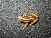 Savanna Four-striped Leaf-folding Frog