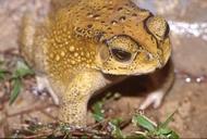 Bufo melanostictus Southeast Asian Toad © 2005 Dr. Peter Janzen