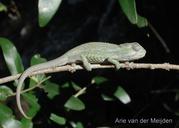 """<strong>Location:</strong> Near a stream, Stellenbosch (South Africa)<br /><strong>Author:</strong> <a href=""""http://calphotos.berkeley.edu/cgi/photographer_query?where-name_full=Arie+van+der+Meijden&one=T"""">Arie van der Meijden</a>"""