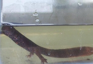 Paddle Tailed Newt