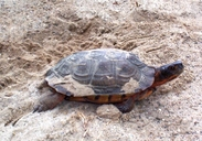"""turtle was just finishing covering her nest, about 2100 hrs.<br /><strong>Location:</strong> Clare County, Michigan (Michigan, US)<br /><strong>Author:</strong> <a href=""""http://calphotos.berkeley.edu/cgi/photographer_query?where-name_full=James+Harding&one=T"""">James Harding</a>"""