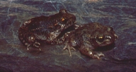 Common And Iberian Midwife Toad