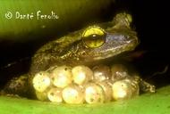 Eleutherodactylus coqui