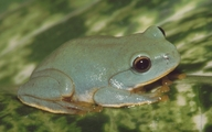 Owston's Green Tree Frog