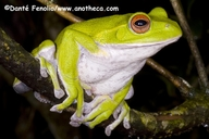 Forest Green Treefrog