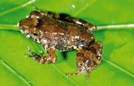 AmphibiaWeb - Mantidactylus tricinctus