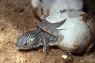 "hatching; emerging hatchling, photo shows caruncle ('egg tooth').<br /><strong>Location:</strong> Michigan, US<br /><strong>Author:</strong> <a href=""http://calphotos.berkeley.edu/cgi/photographer_query?where-name_full=James+Harding&one=T"">James Harding</a>"
