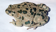 Variable Toad