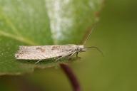 Bactra lancealana
