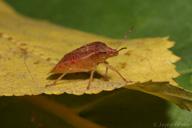 Thyanta pallidovirens