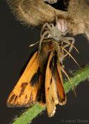 Hylephila phyleus
