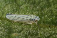 Graphocephala atropunctata