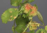 Diplolepis rosae
