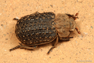 Hastate Hide Beetle