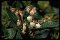 Gaultheria shallon