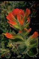 Castilleja mendocinensis