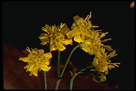 Gutierrezia californica