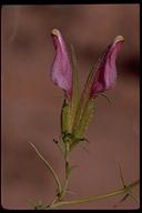 Cordylanthus sp.