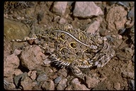"<strong>Location:</strong> Chiricahua Mountain, Cochise County (Arizona, US)<br /><strong>Author:</strong> <a href=""http://calphotos.berkeley.edu/cgi/photographer_query?where-name_full=Robert+Potts&one=T"">Robert Potts</a>"