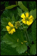 Large-Leaved Avens
