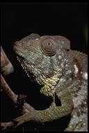 "<strong>Location:</strong> Madagascar<br /><strong>Author:</strong> <a href=""http://calphotos.berkeley.edu/cgi/photographer_query?where-name_full=Gerald+and+Buff+Corsi&one=T"">Gerald and Buff Corsi</a>"