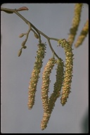 Alnus rhombifolia