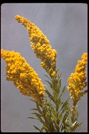 Salebrosa Goldenrod