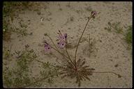 Gilia tenuiflora ssp. arenaria